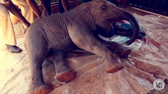 La pequeña elefante se llama ENKESHA. (www.sheldrickwildlifetrust.org)