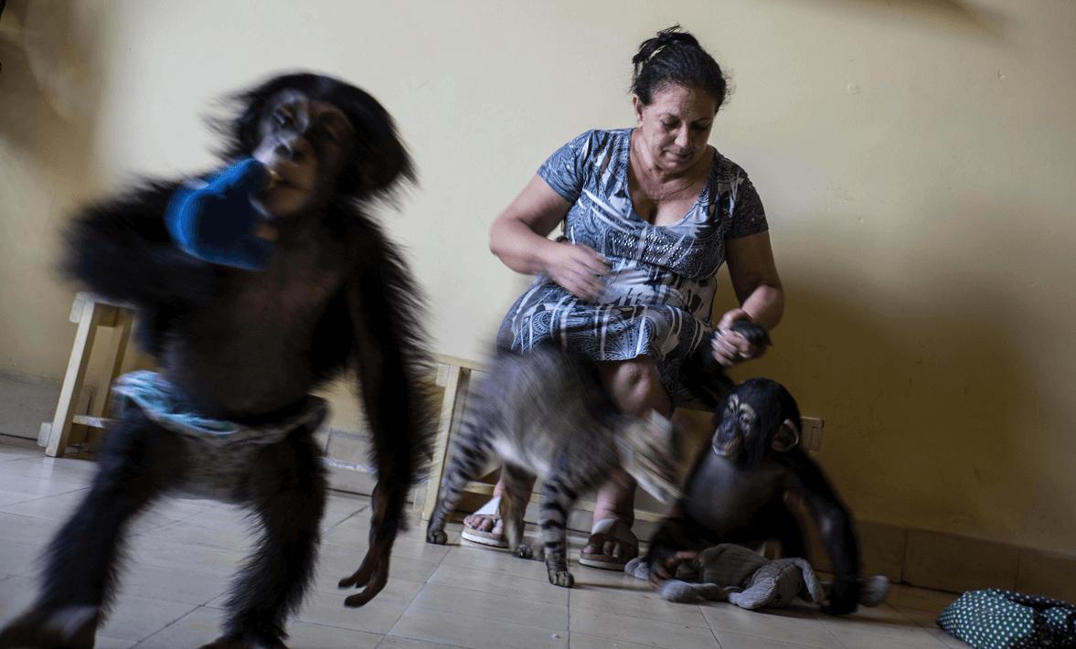 Mujer cubana cuida a chimpancés en su apartamento en La Habana. (AP)