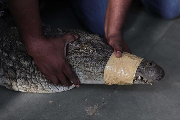 Captura de cocodrilo en Tampico. (Getty Images, archivo)