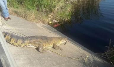 Capturan ejemplar de cocodrilo de pantano en Ciudad de Madero, Tamaulipas. (Sitio oficial/Profepa)