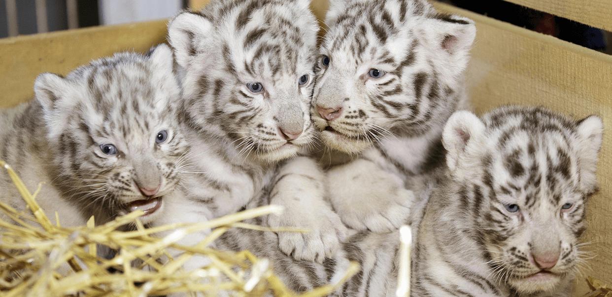 Cuatro crías de tigre blanco de Bengala; dos machos, Falco y Toto, y dos hembras, Mia y Mautzi, en el zoo de Kernhof. (EFE)