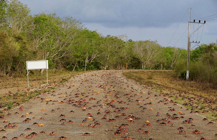 Millones de cangrejos salen de los bosques hacia el mar. (Reuters)
