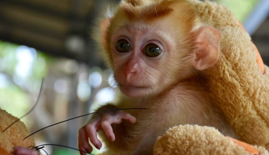 mongkood, macaco, peluches