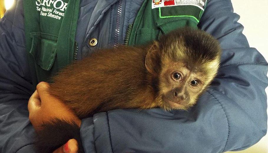 El primate es una cría de mono machín negro que mostraba signos de deshidratación (Twitter @Peru_Noticias)