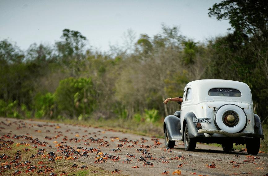 Muchos de los cangrejos pierden la vida bajo los neumáticos de los vehículos. (Reuters)