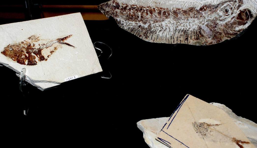 La exhibición de peces fósiles estará tres meses abierta al público (Facebook-Museo de Panteología Eliseo Palacios Aguilera)