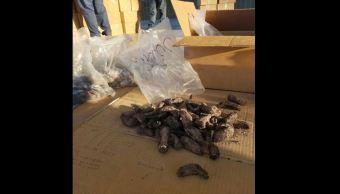 Profepa confisca más de 15 mil pepinos de mar en la aduana de Tijuana
