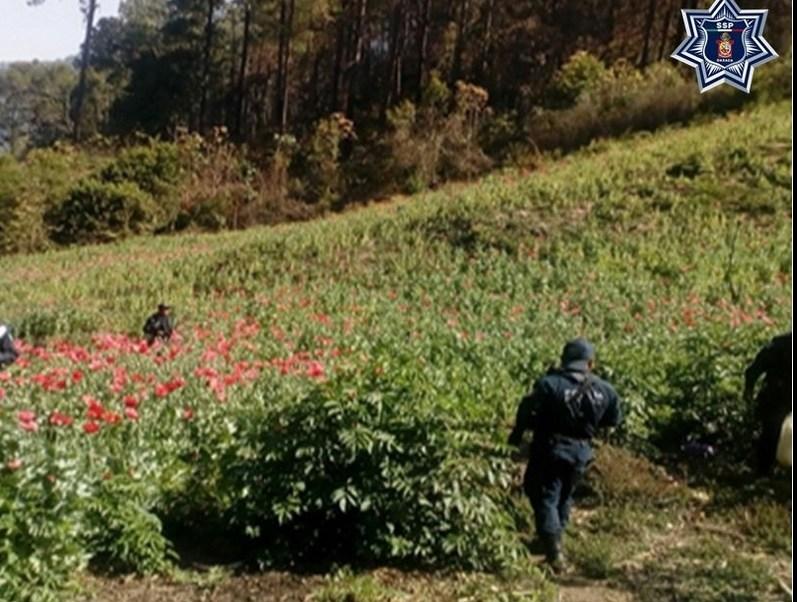 Localizan y destruyen un plantío de amapola en Oaxaca (Twitter @SSP_GobOax)
