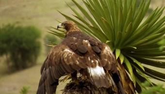 Profepa libera en su hábitat a un ejemplar de águila real en SLP (Profepa)
