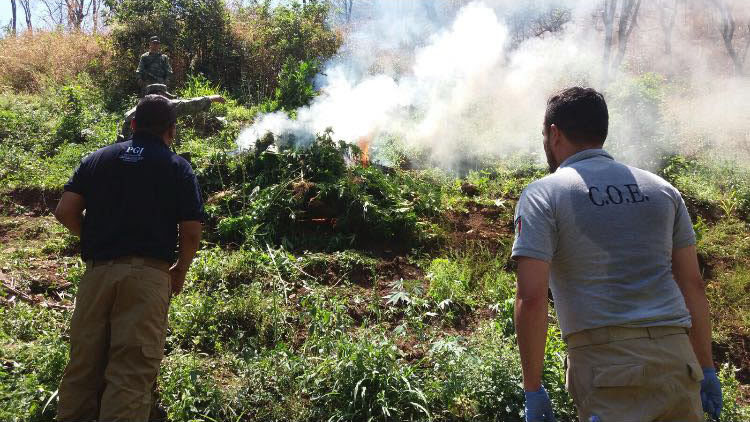 PGJ de Michoacán destruye tres toneladas de marihuana en el municipio de Madero