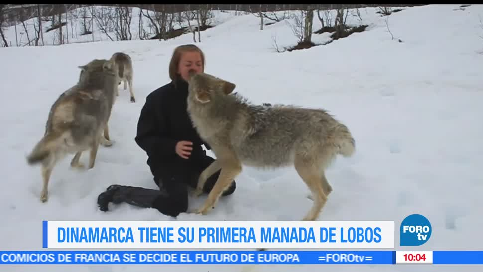 Dinamarca, Extra Extra, Científicos confirmaron, manada de lobos