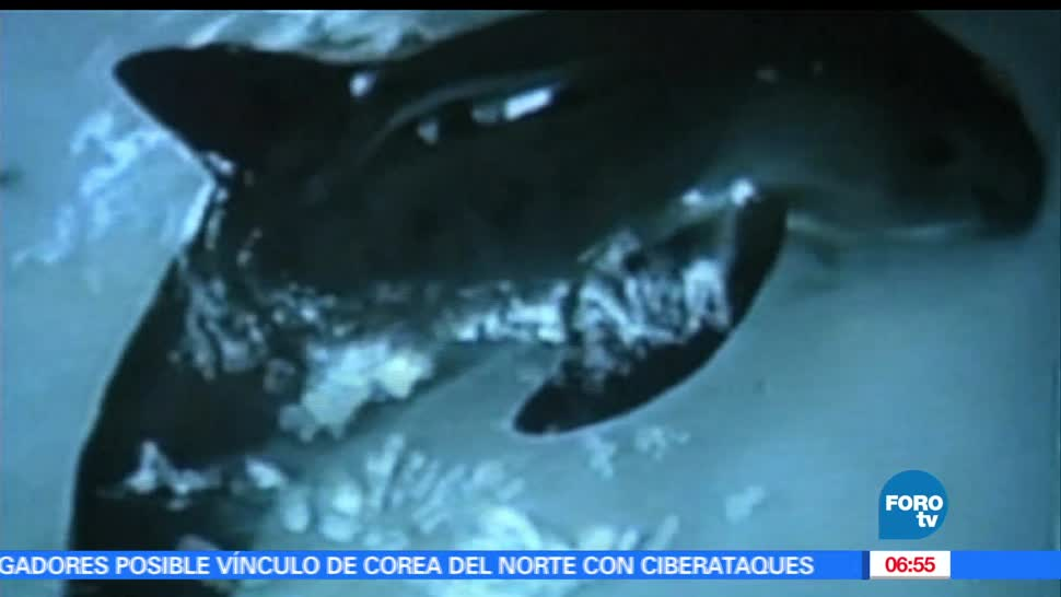 Último, esfuerzo, salvar, vaquita marina