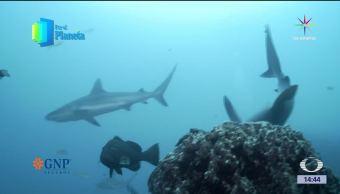 noticias, televisa news, Tiburones, Los jardines de la reina, Por el planeta, Caribe