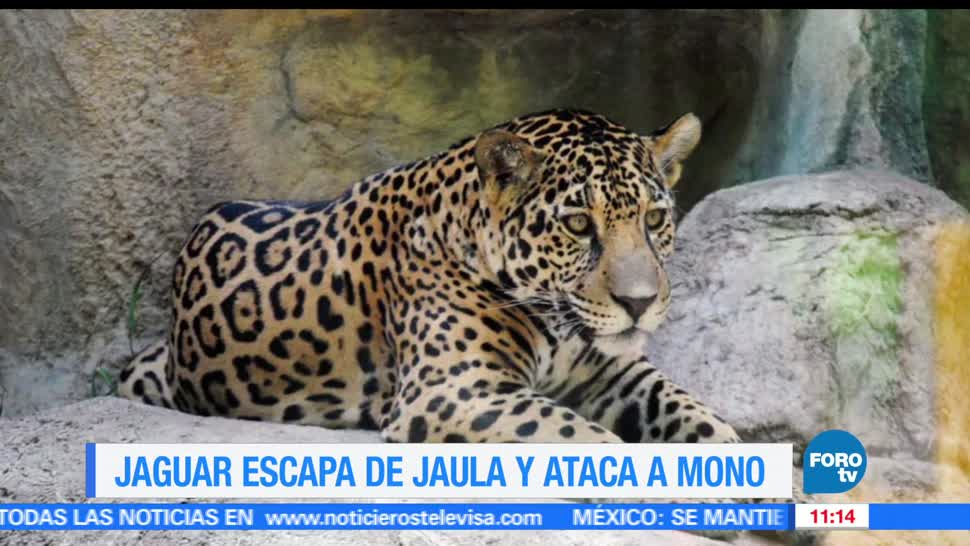 noticias, FOROtv, Extra, Jaguar, escapa, jaula