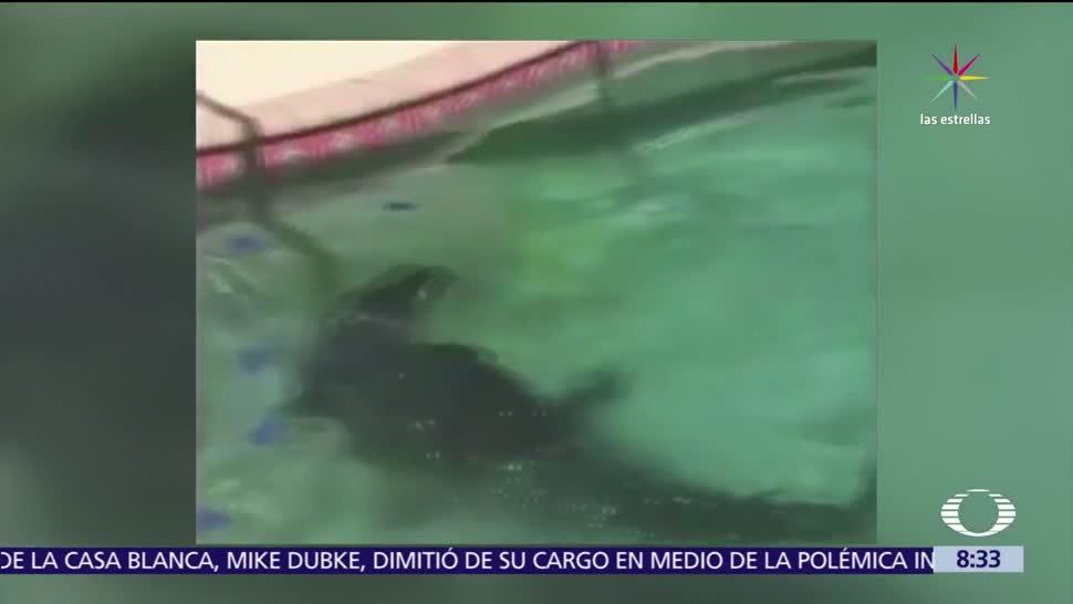 Florida, alberca, cocodrilo de 2.3 metros, Policía