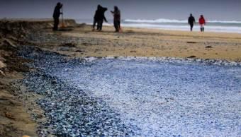 Medusas velero que aparecieron muertas en playas de Rosarito. (EFE)
