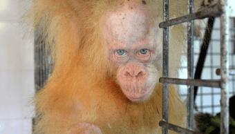 Alba la orangutana albina en Indonesia