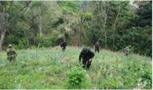 Fuerzas federales destruyen plantíos de marihuana y amapola