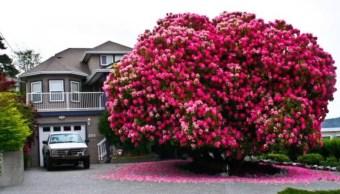 Lady Cynthia, un arbusto de 7.6 metros se ha vuelto una atracción en Canadá (Foto: vancouversun.com)