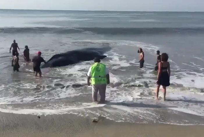 Protección Civil, vecinos y policías del puerto de Salina Cruz, Oaxaca, tratan de rescatar a una ballena varada (Twitter @GustavoVela71)
