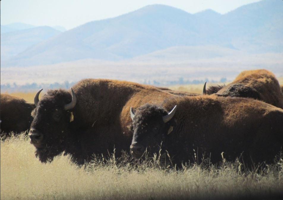 Bisontes recorren el campo de janos