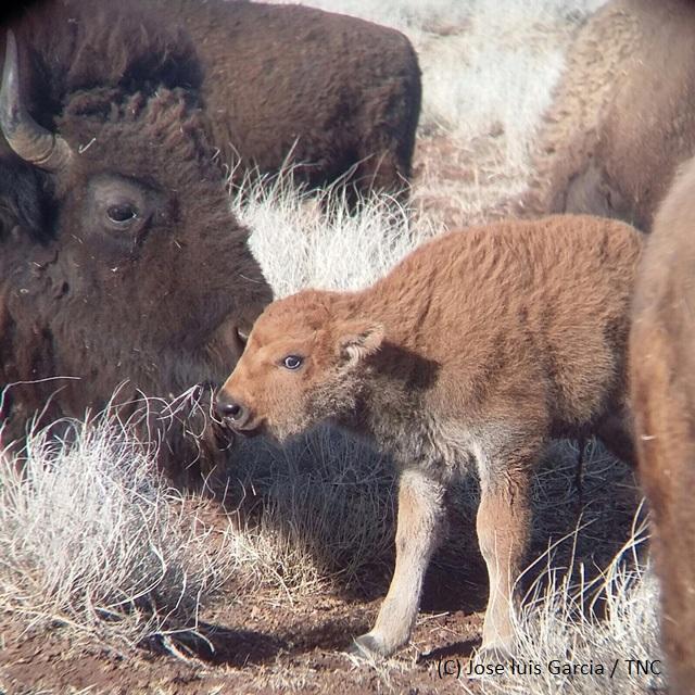 Crías de bisonte americano. (CONANP)