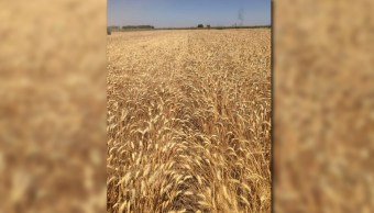 Campo de trigo en el Valle del Yaqui Sonora