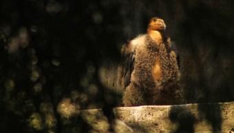 La Secretaría de Medio Ambiente capitalina invita a votar por el nombre de éste nuevo polluelo. (Twitter: @SEDEMA_CDMX)