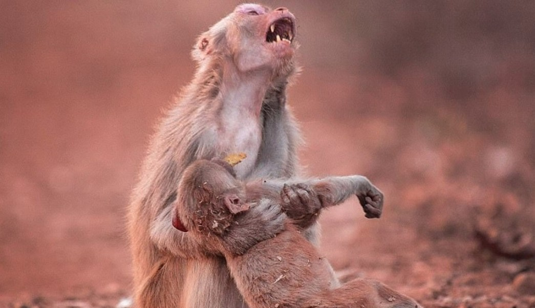 La imagen muestra una madre que parece gemir de angustia mientras sostiene a su cría (Foto: dailymail)
