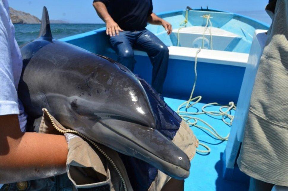 Delfín varado en Loreto y rescatado por Profepa