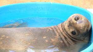 Elefante marino es reintegrado a su habitad