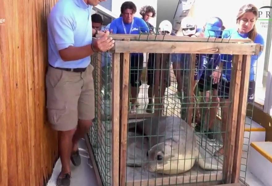 Elefante marino es reintegrado a su habitat