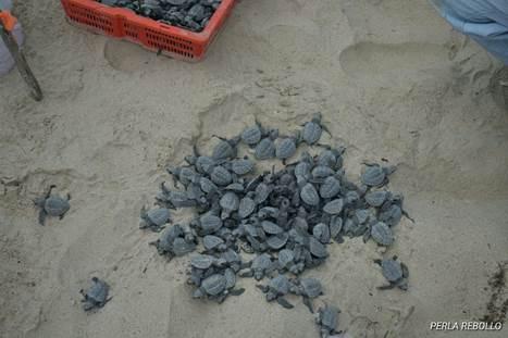 Nacen crías de tortuga Lora en playas de Tamaulipas