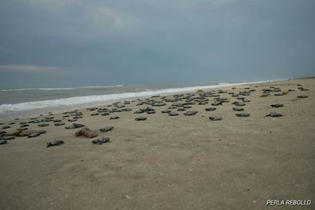 Nacen crías de tortuga Lora en playas de Tamaulipas (Semarnat)