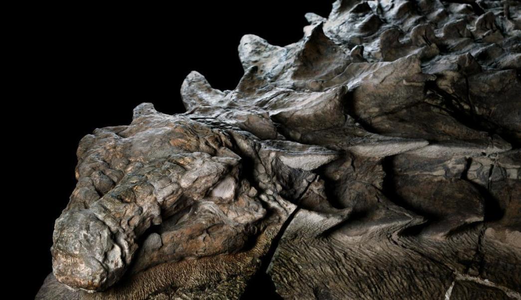 nodosaurus-fosil_5