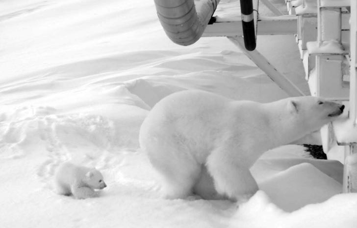 Un oso polar y su cachorro al lado de un puente de una plataforma de producción de aceite en Alaska (AP)