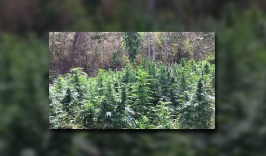 Plantío de marihuana es destruido en zihuatanejo