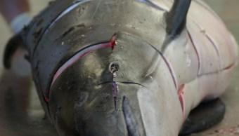 Vaquita marina, Necropsia de vaquita marina, Rescate de Vaquita marina, Medioa ambiente