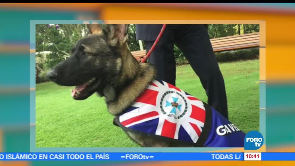 perro pastor alemán, expulsado, Academia de Servicio Policial, Australia, amigable