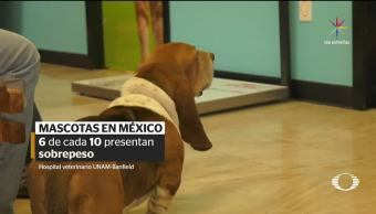 Alertan, incremento, mascotas, obesas, hospital veterinario, unam