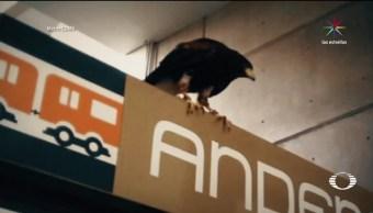 Águila, demuestra, vivimos, Gran Tenochtitlán