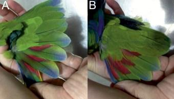 Encuentran en México una nueva especie de loro de plumaje azul
