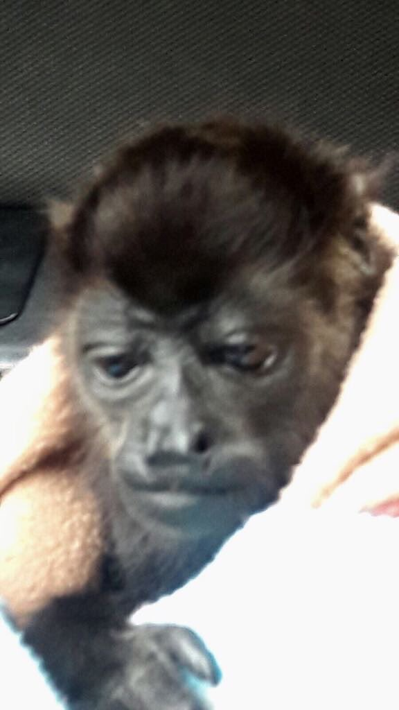 Policias rescatan a mono aullador en la GAM