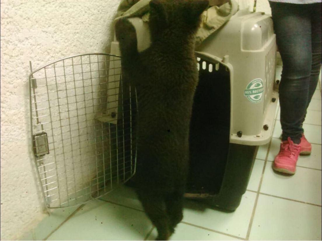 Reswcatan oso negro en salamanca