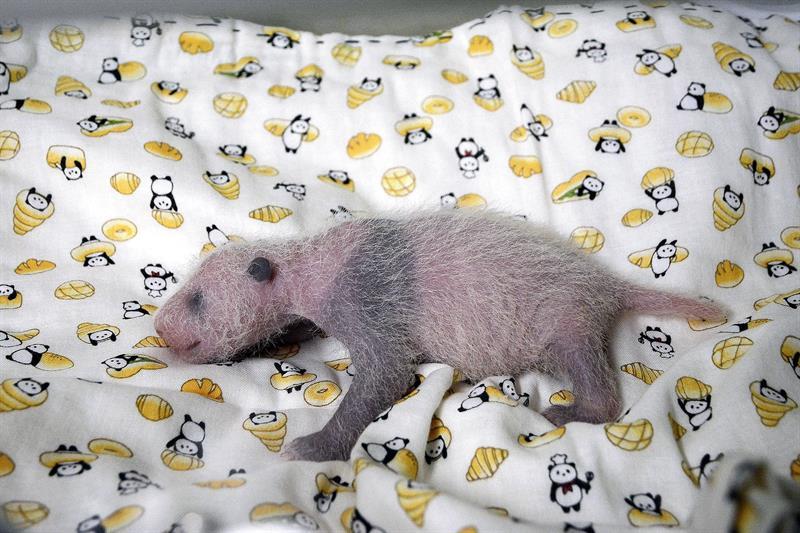 Oso panda, zoológico, Toki, Japón, animales, osito, osos
