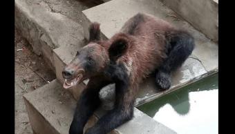 oso pardo, zoológico chino, China, demacrado
