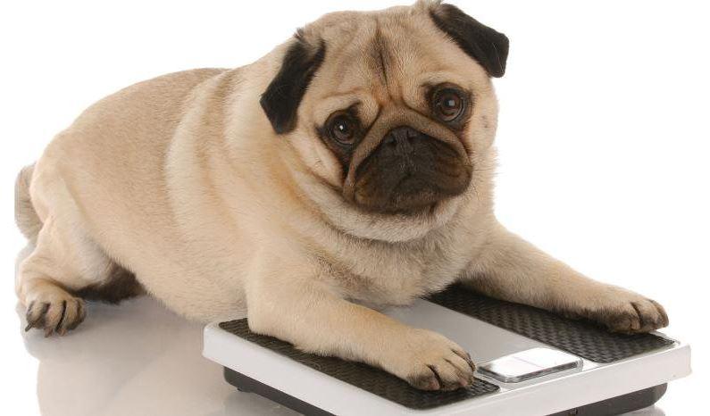 Especialistas, UNAM, Mascotas, Obesidad, Veterinarios, Dueños, Familias, Alimento, Salud, Enfermedades, Diabetes, Cardiovasculares