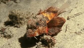 pez piedra, pez patas, peatón marino, National Geographic