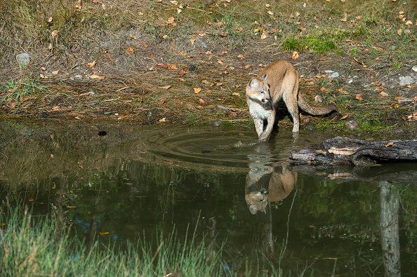 Puma, Actopan, Hidalgo, Busqueda de un puma, seguridad