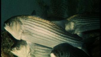 Dos ejemplares de robalos rayados en el mar